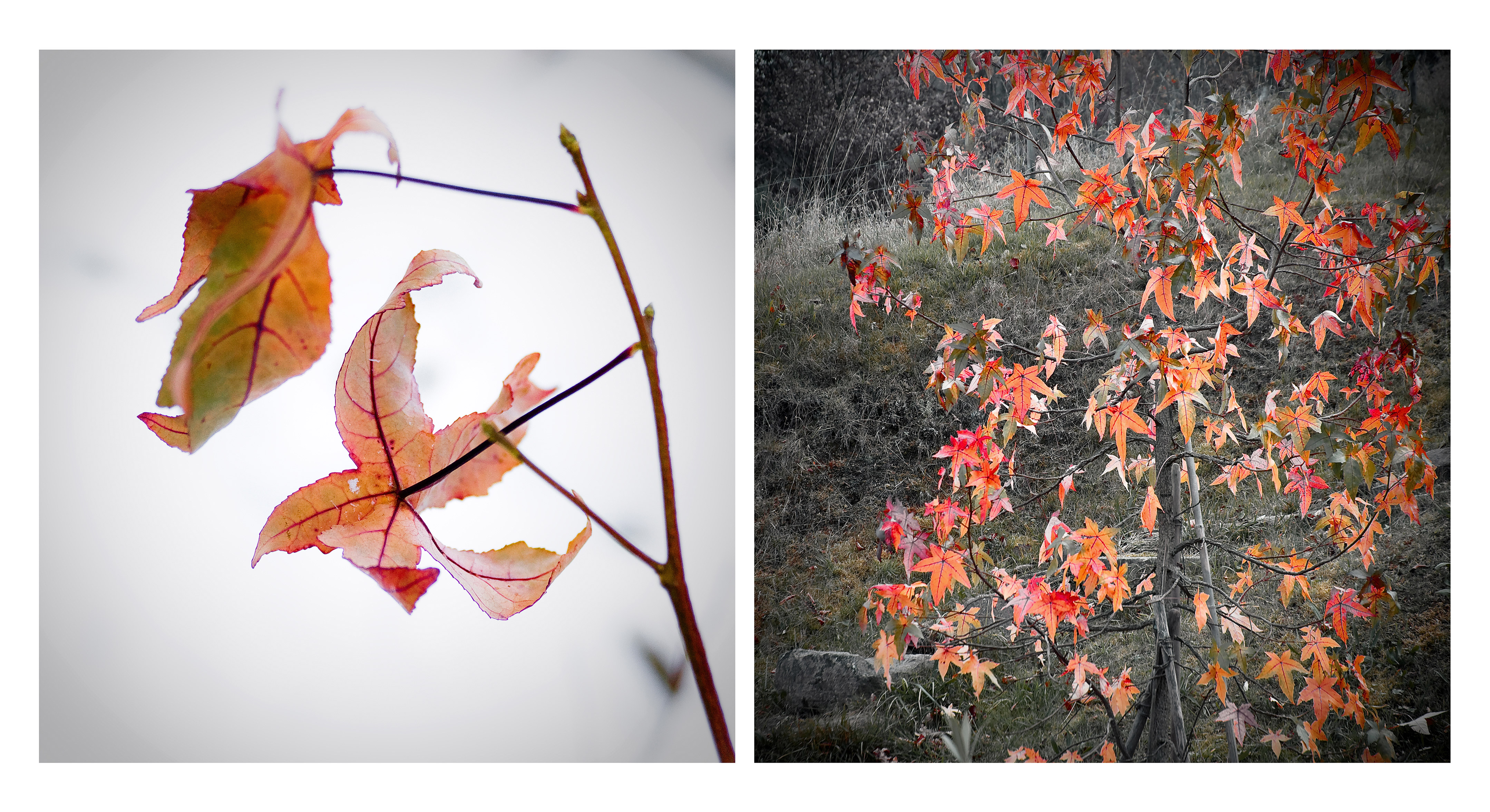 18_FEUILLE_ROUGE_AUTOMNE