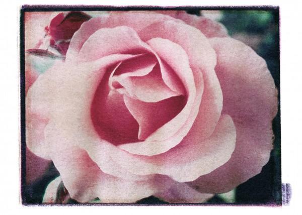 30_ROSE_ROSE