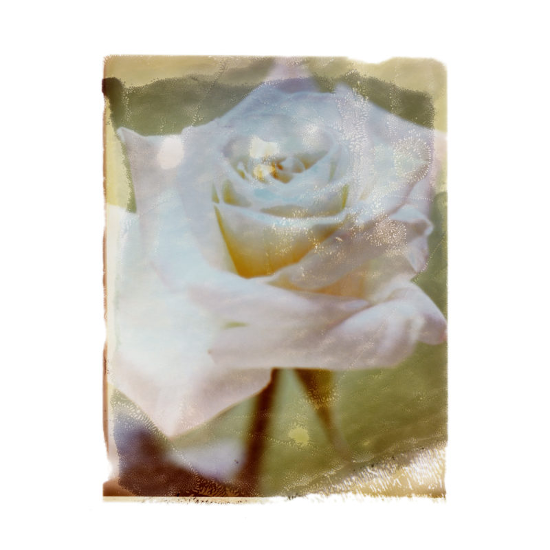 4_ROSE_BLANCHE_DIAPHANE